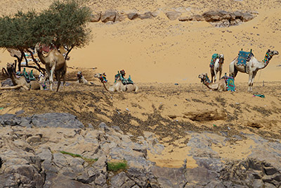 A view of the camels relaxing while we travel the Nile River